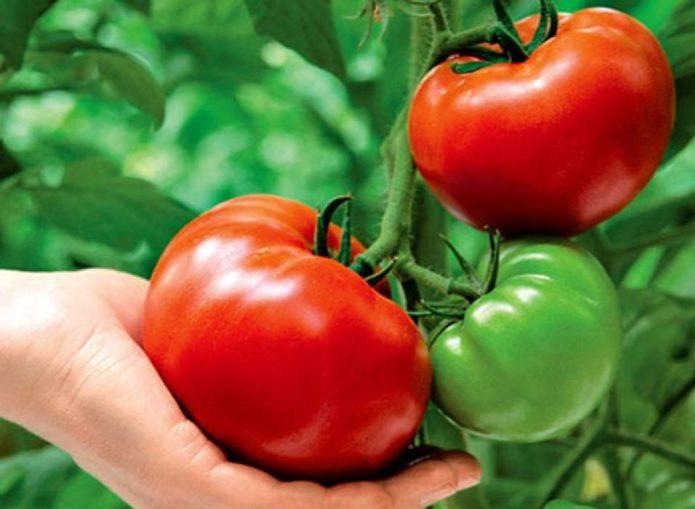 созревшие томаты