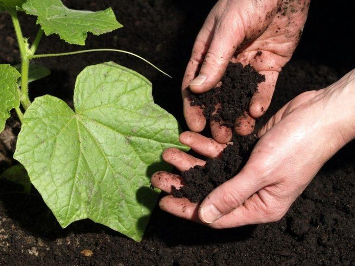 Как продлить урожайность огурцов при прохладной и дождливой погоде