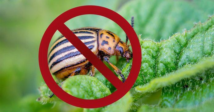 Хотите избавиться навсегда от колорадского жука? Посадите душистый табак