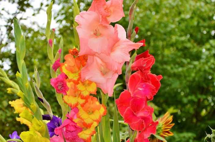 Чем подкармливать гладиолусы для обильного цветения: народными средствами