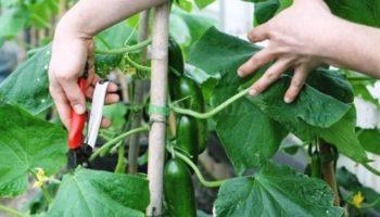 Как прищипывать огурцы в открытом грунте и теплице, схема и пошаговое фото