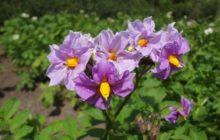 Подкормка картофеля во время цветения и завязывания плодов