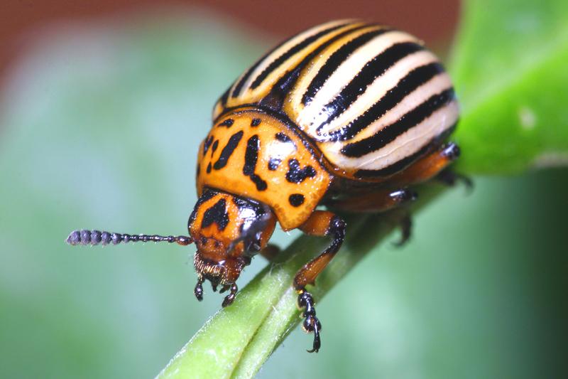 Самоуничтожение колорадского жука, рецепт, как применять, отзывы