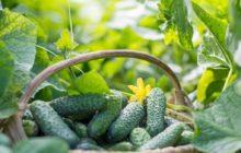 Секреты урожая огурцов: простые, хорошие