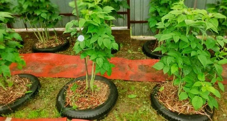 Оригинальный способ выращивания малины: опыт дачника