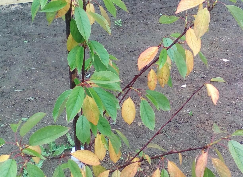 Почему желтеют листья у вишни в июле, что делать