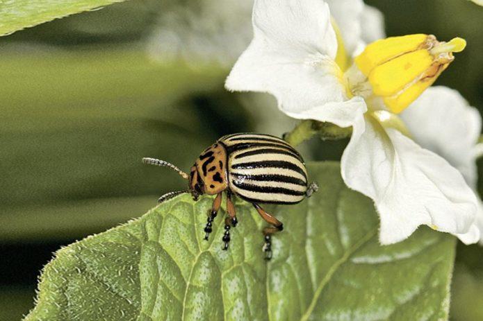 простой способ избавиться от колорадского жука
