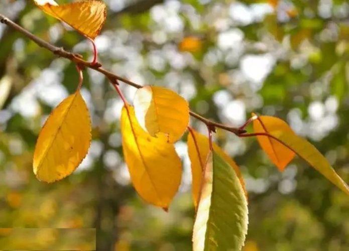 У вишни наступила осень? Почему желтеют и опадают листья