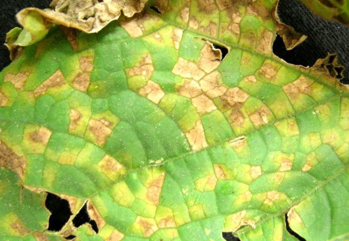 Почему на листьях огурцов желтые пятна и что делать