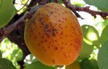 Почему черные точки на абрикосах, можно ли есть, чем обработать