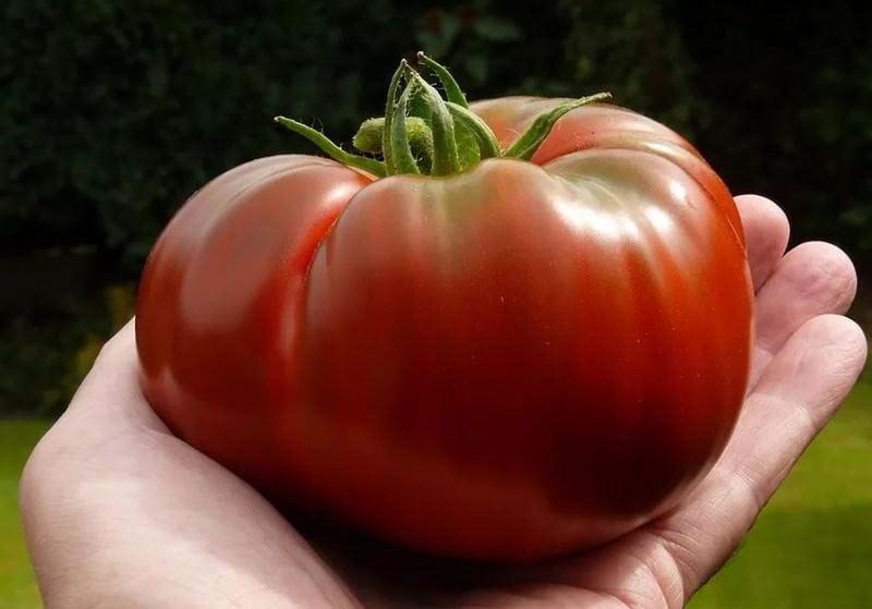 Чем подкормить помидоры, чтобы были крупными и не трескались