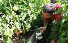 Чем обработать помидоры после дождя от фитофторы