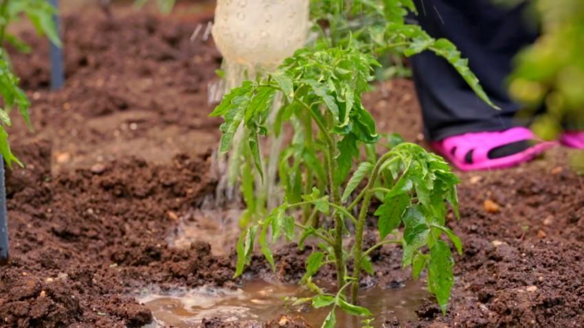 Чем подкормить помидоры в холодную дождливую погоду