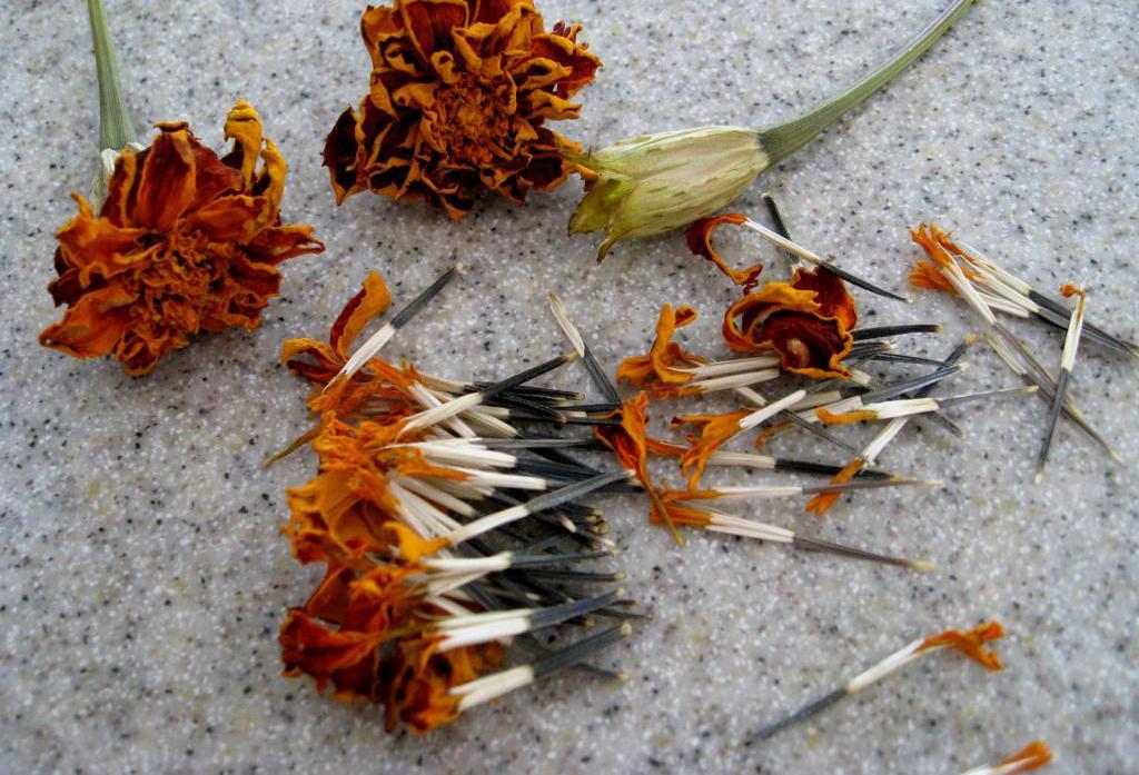 Как собрать семена бархатцев и отсеять пустые семена в домашних условиях