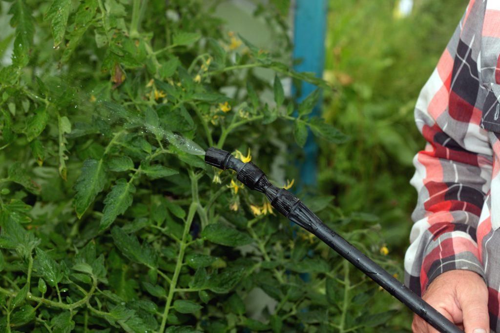 Трихопол для помидоров: как разводить, как и когда опрыскивать и поливать