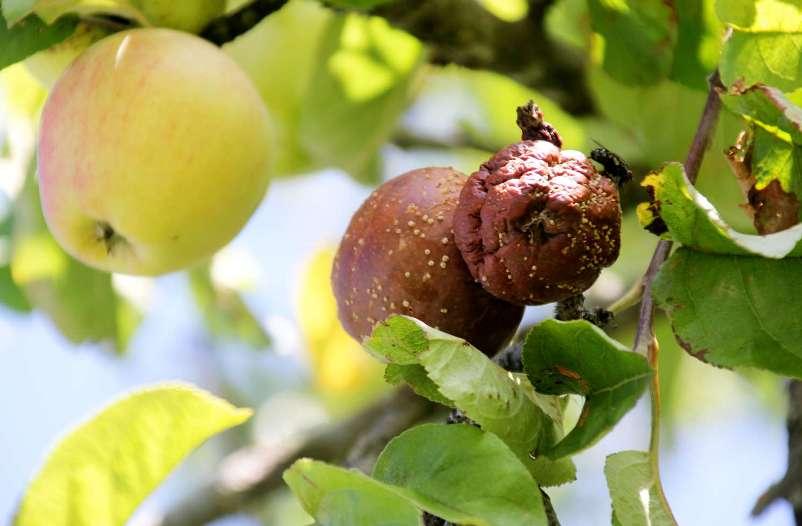 Яблоки гниют прямо на дереве: причина и что делать, советы ...