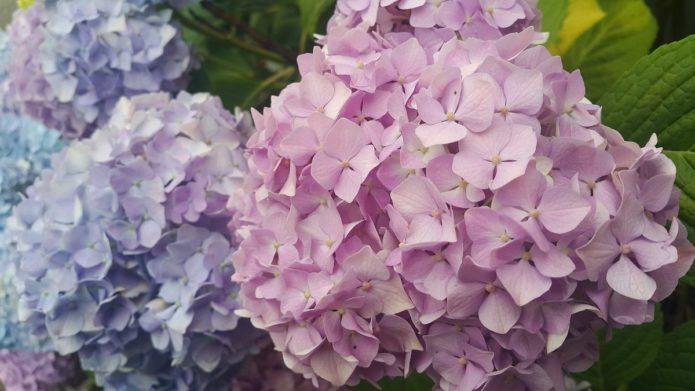 Даю гортензии кефир и не только, а она обильно цветет