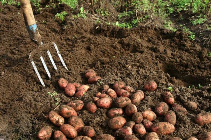 Выясняем точное время уборки картофеля с грядки на хранение – не пропустите