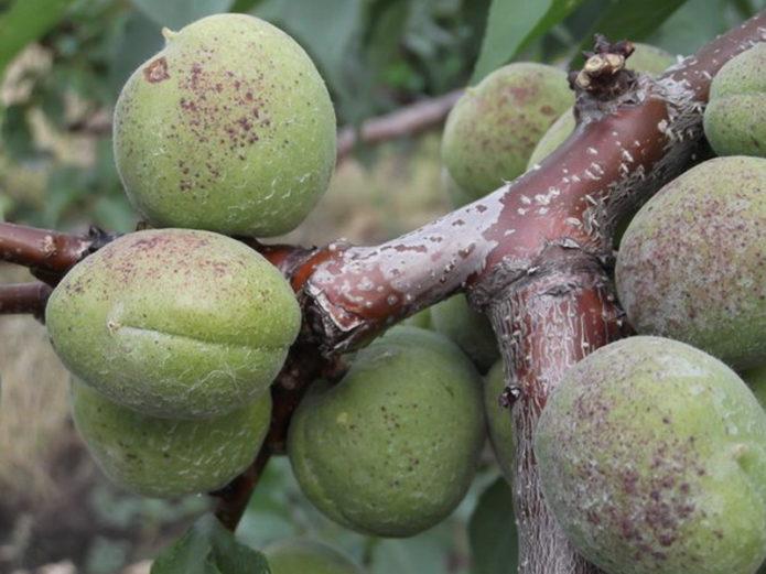 почему на абрикосах появляются точки