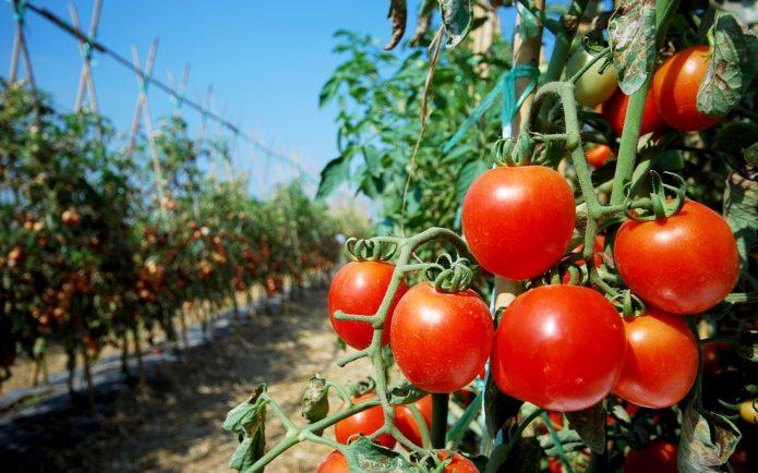 Хитрости, чтобы помидорчики были крупными и не трескались