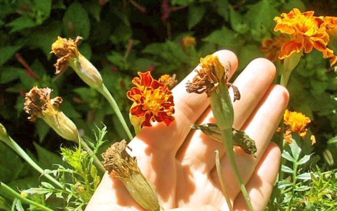 Собрать семена бархатцев без пустышек - легко и просто
