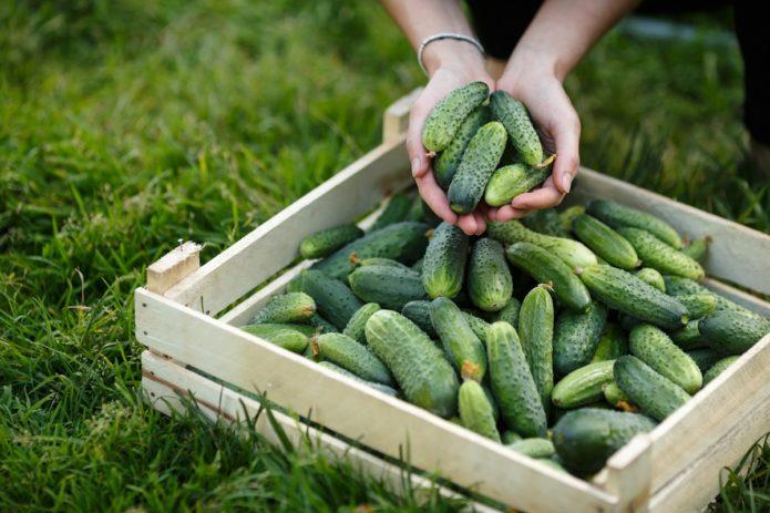 Огуречные секреты обильного урожая - шпаргалка для дачников