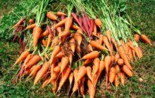 Когда убирать морковь с грядки на хранение по лунному календарю в 2019 году в Подмосковье, Московской области, Урале, Сибири