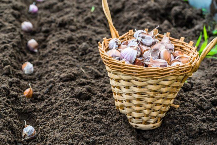 10 средств, чем нужно обязательно обработать чеснок перед посадкой на зиму