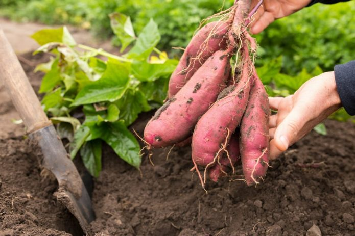Культуры, которые можно и нельзя сажать после моркови на следующий год