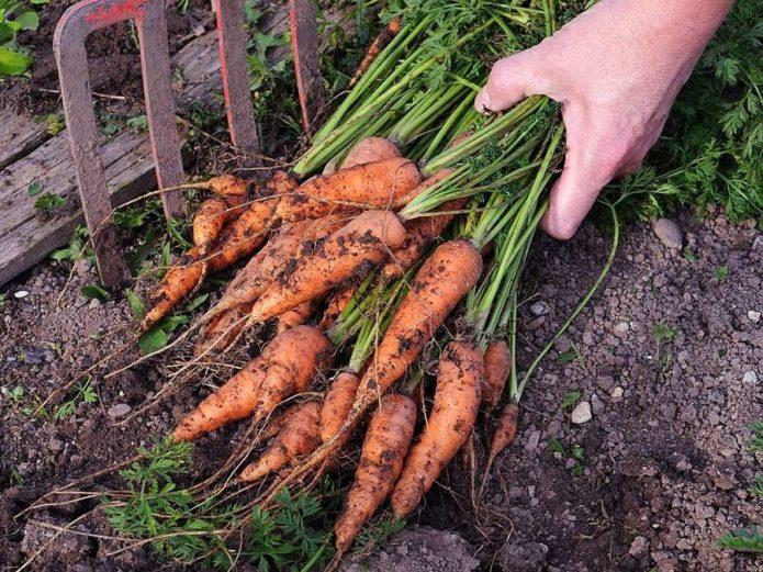 Самое время убирать морковь на хранение с грядки – делаем это правильно