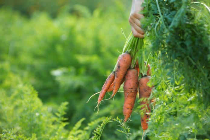 собрать урожай моркови