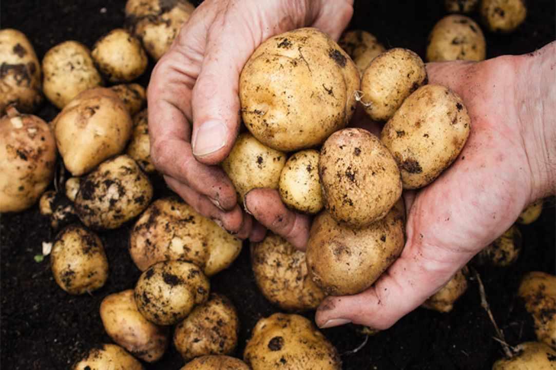 Почему не замерзает картофель, зарытый на зиму в яму