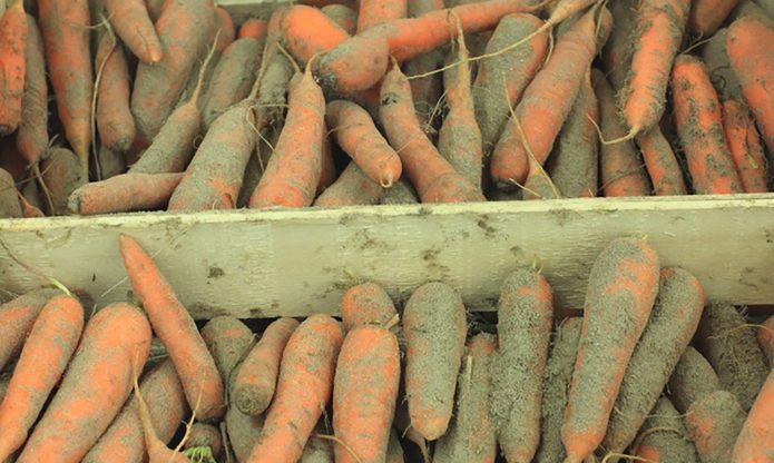 хранение моркови без мытья