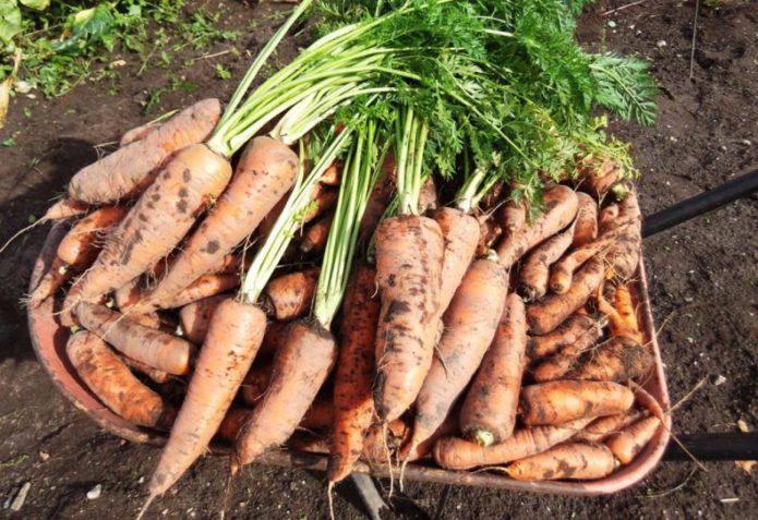 Мыть или не мыть морковь перед хранением в погребе