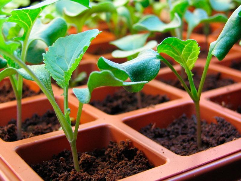 Когда сажать капусту брокколи на рассаду в 2020 году по лунному календарю: таблица благоприятны для посадки дней