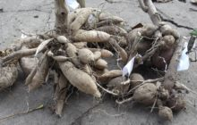 Когда выкапывать георгины на зиму и как хранить до посадки весной