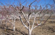 Как обрезать абрикос осенью, чтобы был хороший урожай