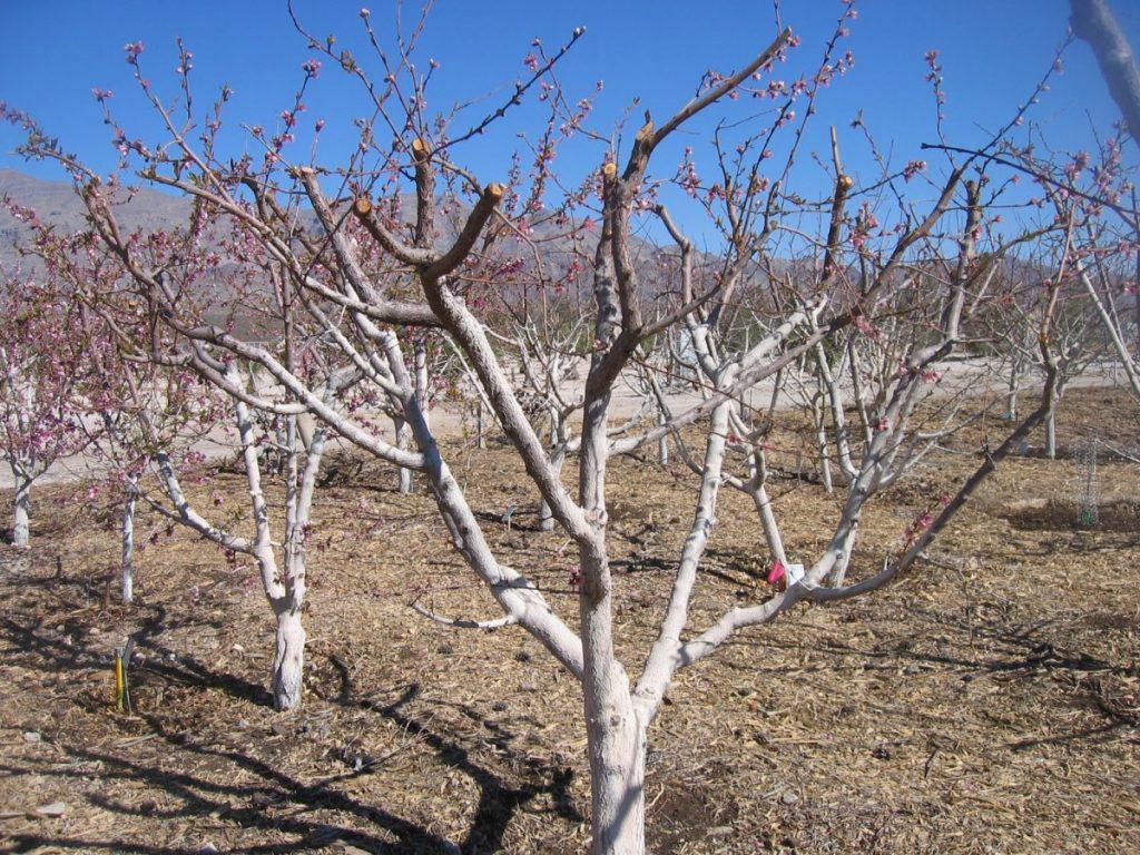 Обрезка абрикоса осенью – обязательный этап ухода