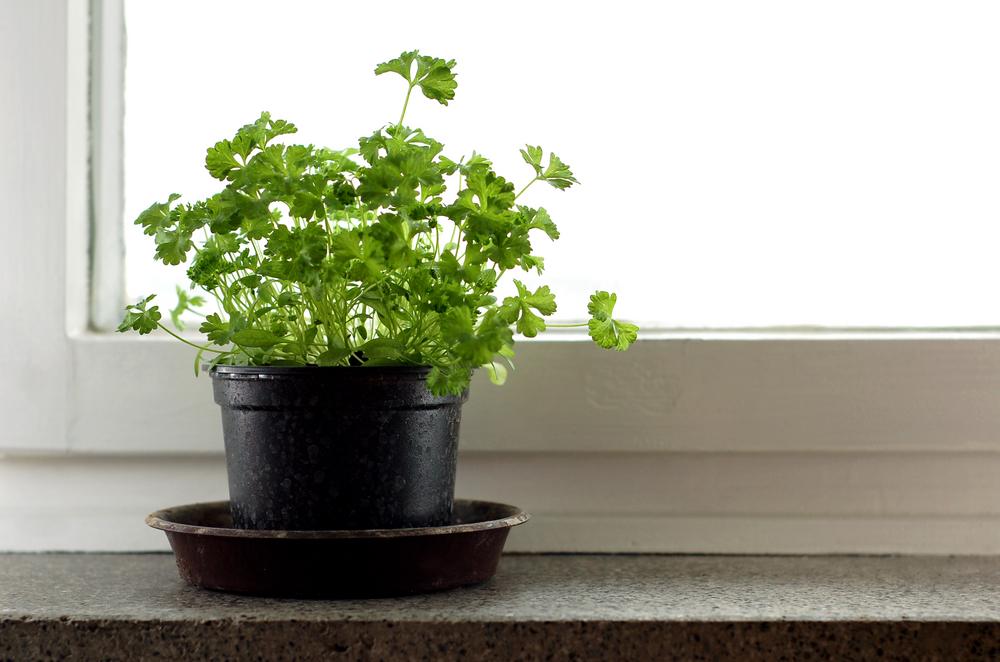 Как вырастить петрушку на подоконнике в квартире зимой