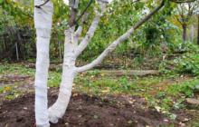 Подготовка яблонь к зиме осенью в Подмосковье, Сибири, на Урале