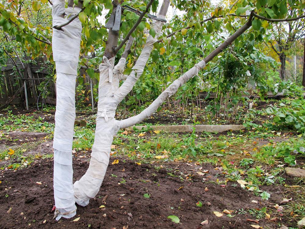 Как подготовить и укрыть яблоню на зиму на Урале
