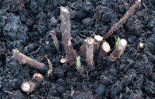 Посадка ремонтантной малины осенью: когда и как посадить, какие удобрения