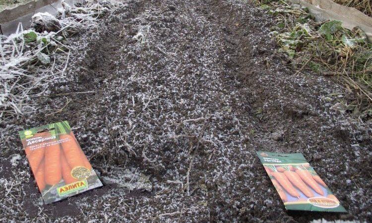 Посадка моркови осенью под зиму: сроки посадки