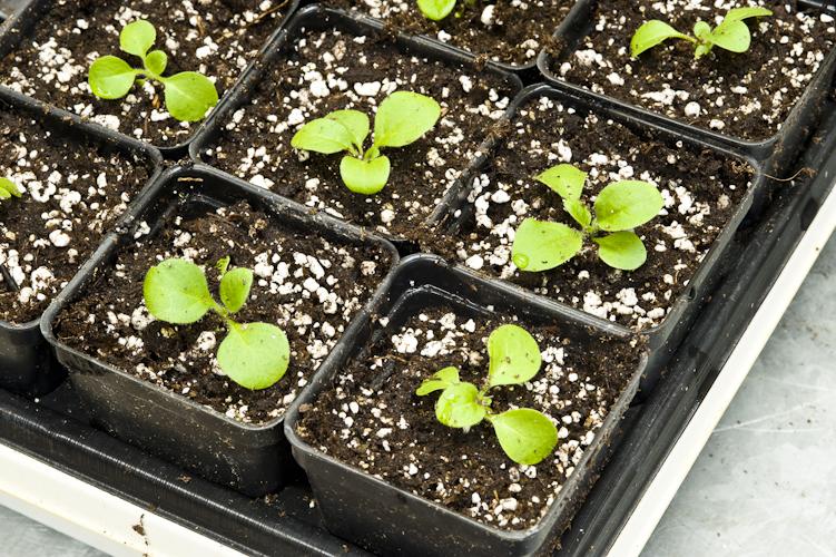 Когда сажать петунию на рассаду в 2020 году по лунному календарю: благоприятные дни для посева семян в январе, феврале и марте
