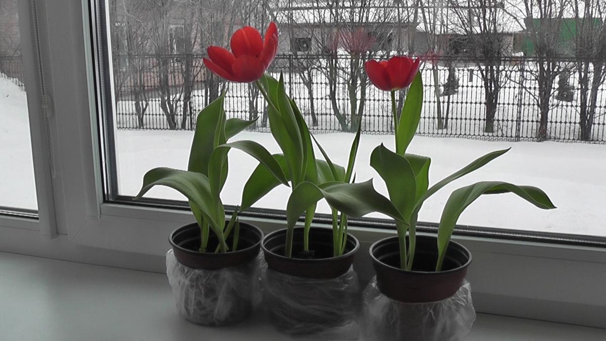 Выгонка тюльпанов зимой в домашних условиях к Новому году