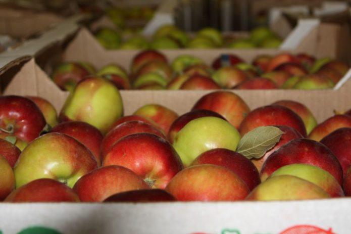урожай яблок на хранение