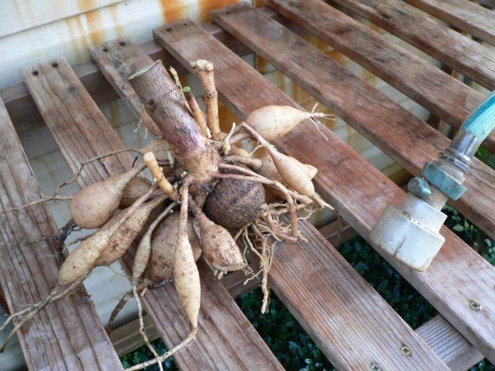Как сохранить георгины до весны в квартире и не только