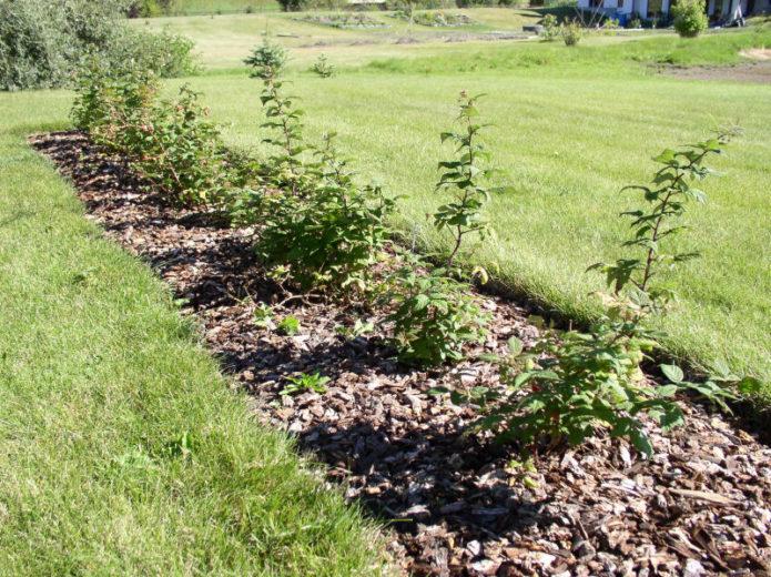 Пошаговое руководство: как посадить малину осенью