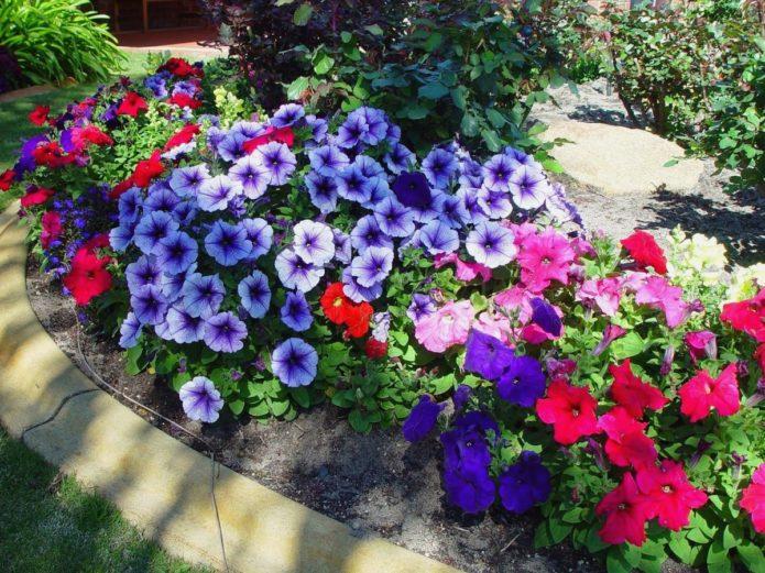 фото петунии в саду