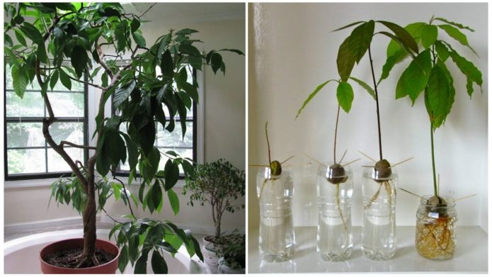 Как вырастить авокадо из косточки, чтобы были плоды